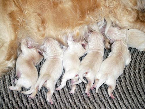K-kuldet består af 4 hanner og 2 tæver: Karlo, Kenzo, Klante, Krumme, Karla og Kasja. Hvalpene er gamle nok til at rejse hjemmefra i uge 27 fra og med d. 2. juli. De 2 tæver er reserveret.