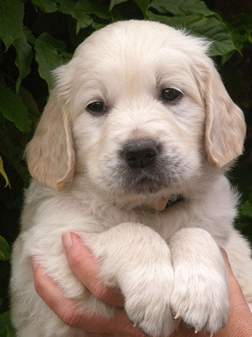 Vesterlands Kenzo bliver en god og smuk familiehund i Århus.