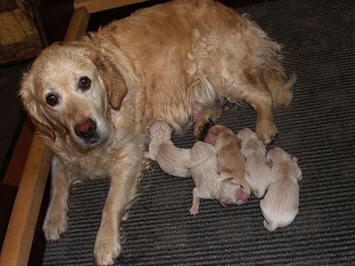 Gerlis fødte d. 19 juni L-kuldet.  Det blev, et fint og sundt kuld på 2 hanner og 3 tæver.